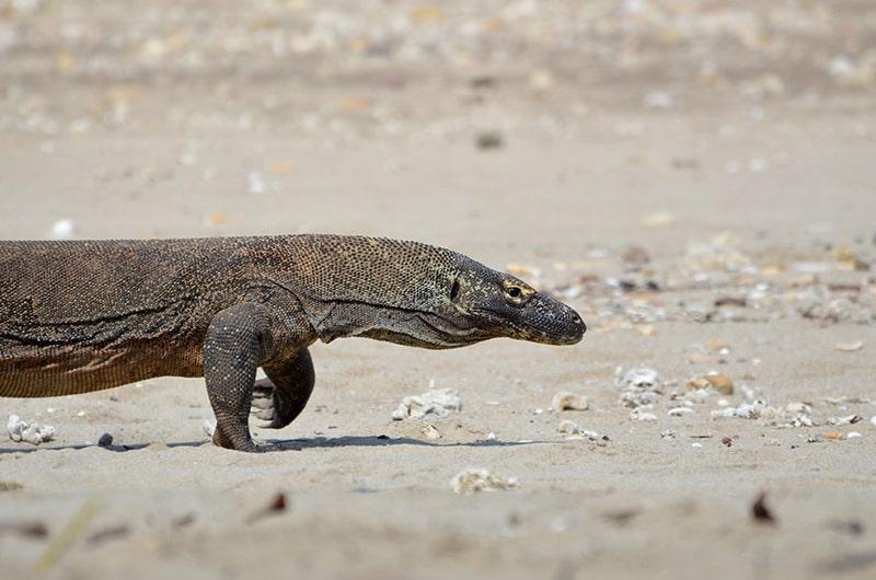 Top 5 des destinations en Indonésie - Dragon de Komodo