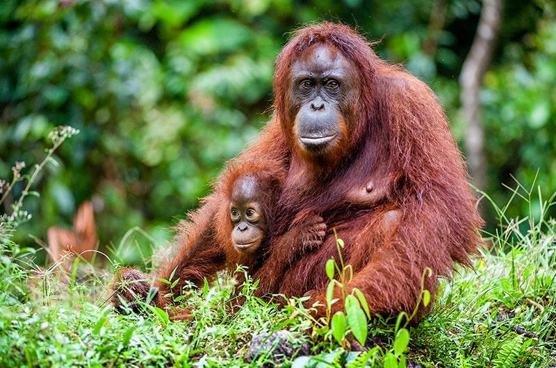Les Orangs outans de Sumatra en Indonésie